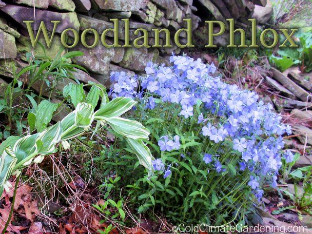Woodland Phlox Knocks My Socks Off: Wildflower Wednesday