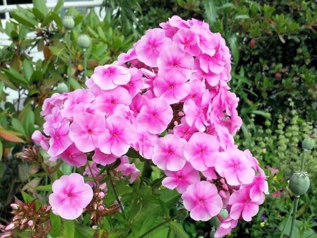 Self sown perennial pink phlox