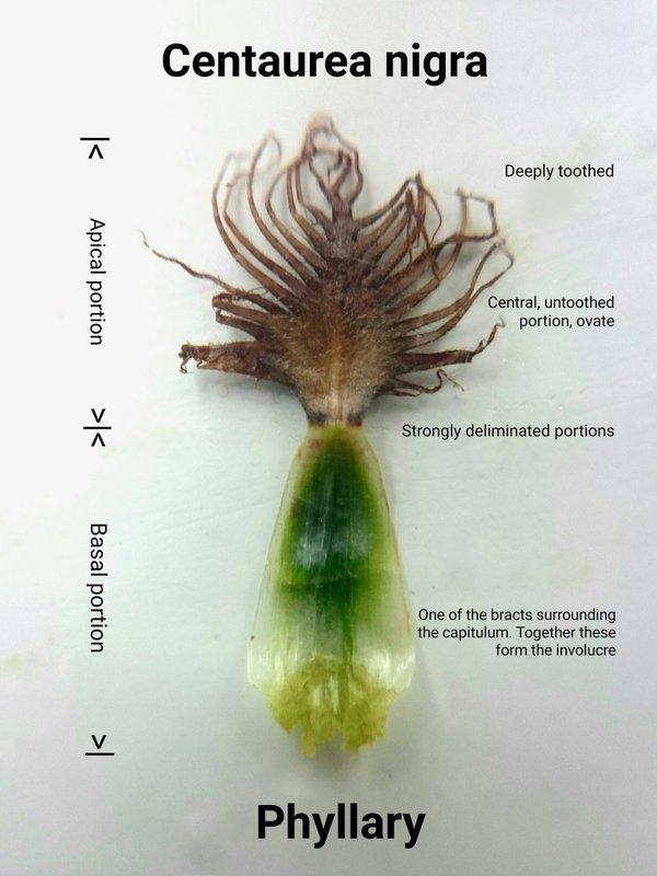 Phyllary from Centaurea nigra Kevin Widdowson