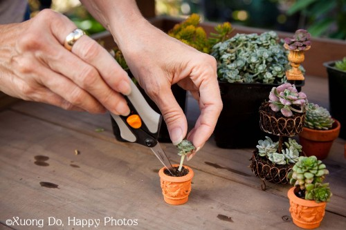 Planting Succulents in a miniature garden