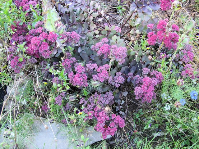 Razzleberry sedum perennial blooms in fall