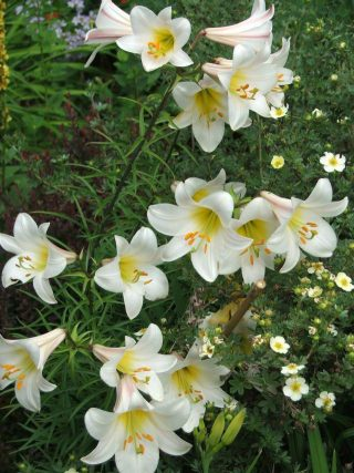 regal lilies at Lilactree Farm