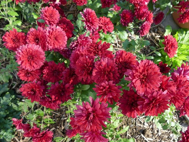Ruby Mound Chrysanthemum