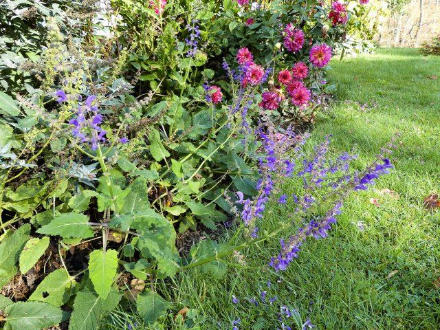 Salvia transylvanica