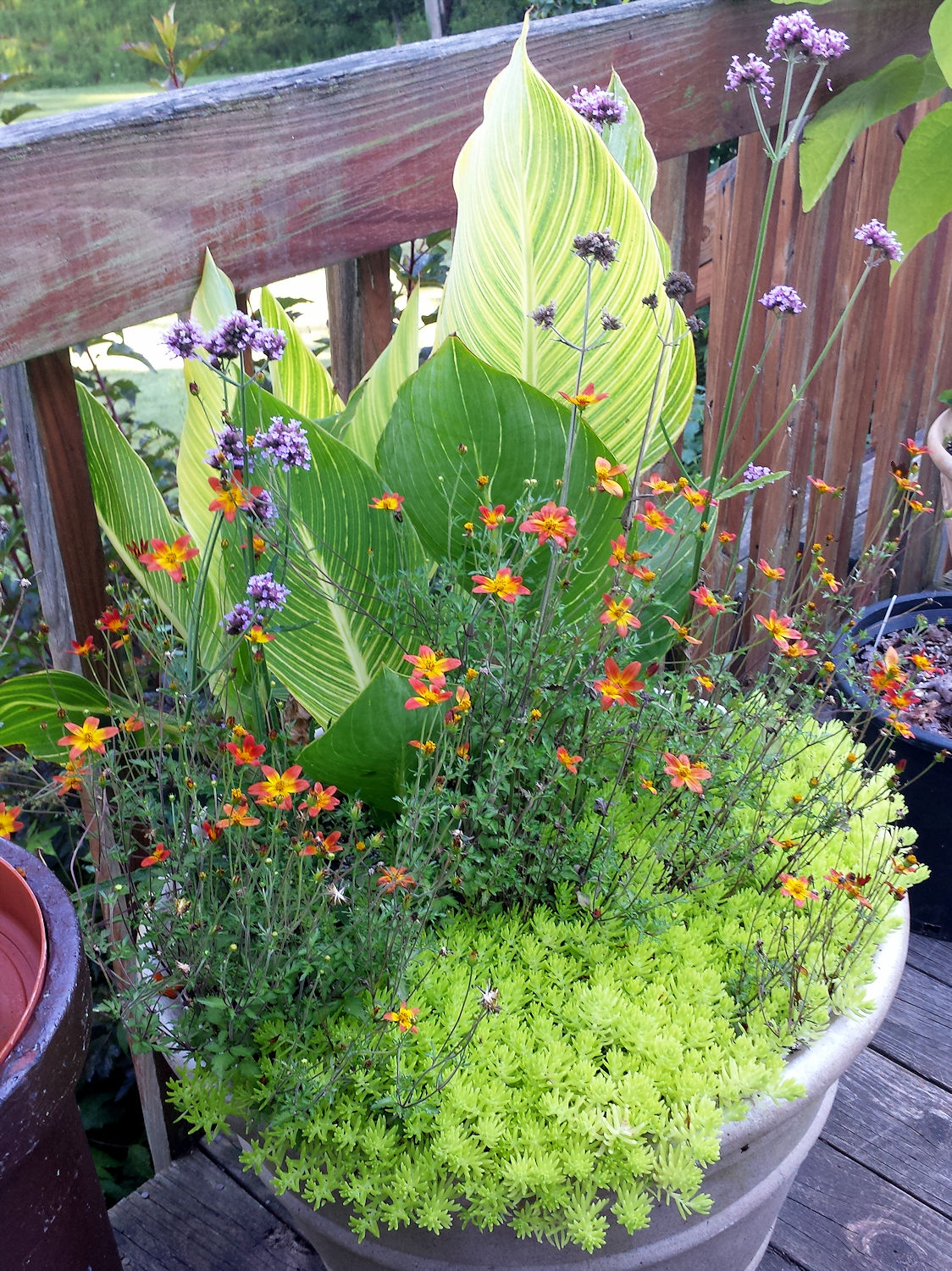 the pleasures of gardening garden bloggers bloom day  sedum bidens verbena canna