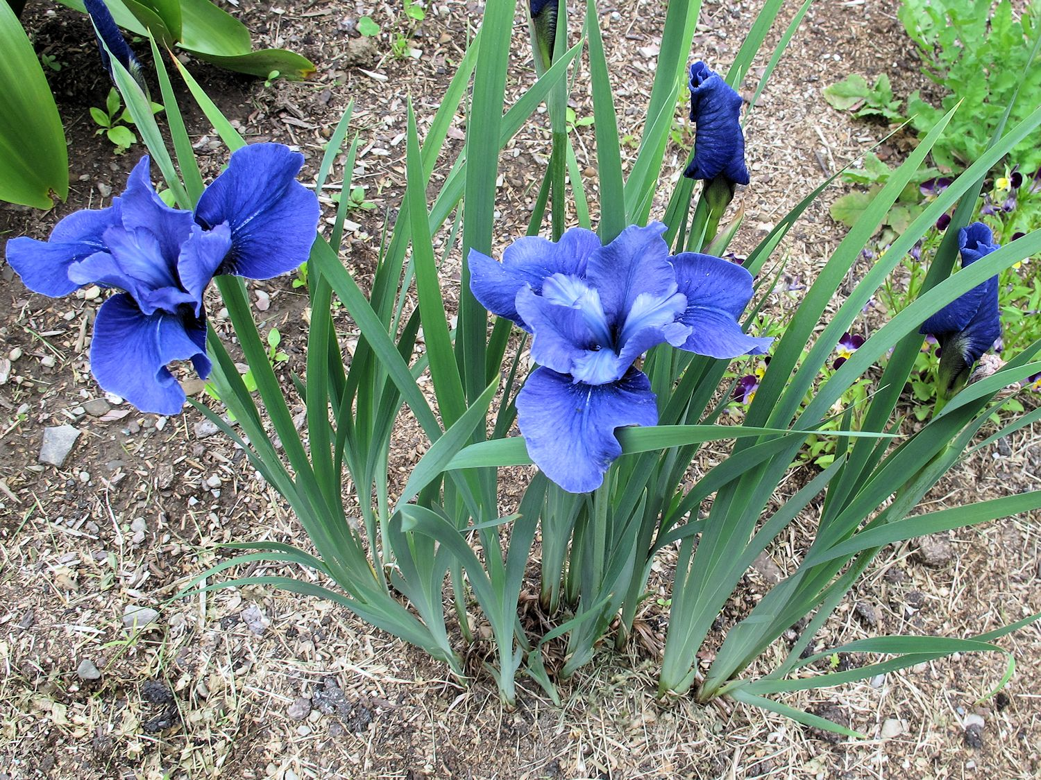 Irises rule garden bloggers bloom day june 2013 siberian iris jaybird izmirmasajfo Choice Image
