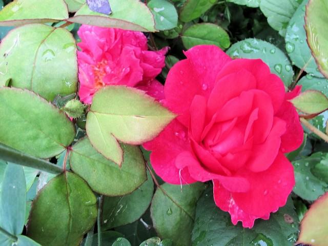 Sophys Choice David Austin rose pink hardy