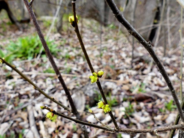 Spicebush bloom detail