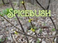 Spicebush featured image