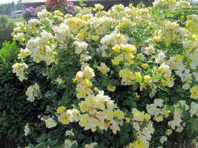 The Sunny Knock Out® Rose, aka Rosa'Radsunny'