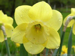 Symphonette daffodil