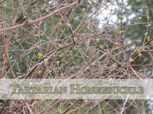 Tartarian Honeysuckle Chokes Out Spring Ephemerals