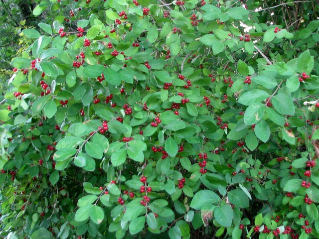 Tartarian honeysuckle berries