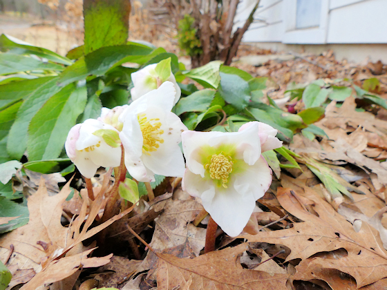 'Thanksgiving Bloom' blooming in January.