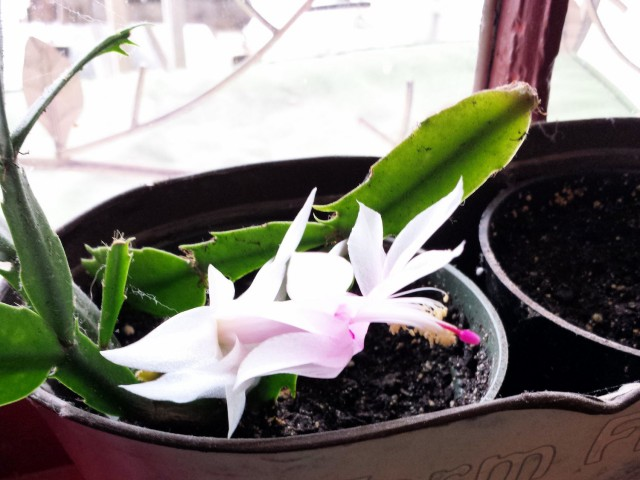 Thanksgiving cactus coming back