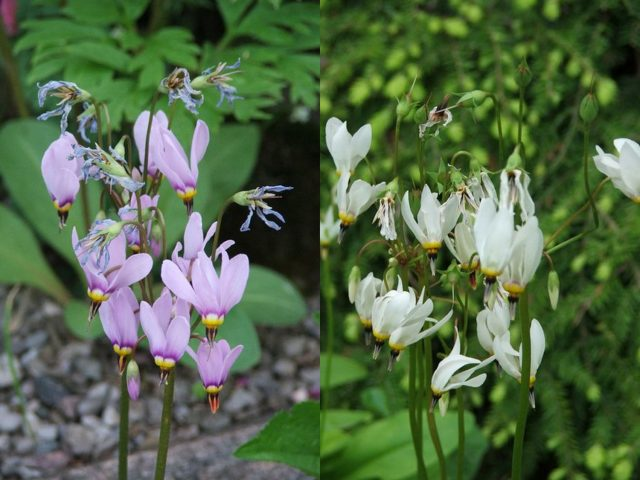 Two dodecatheons