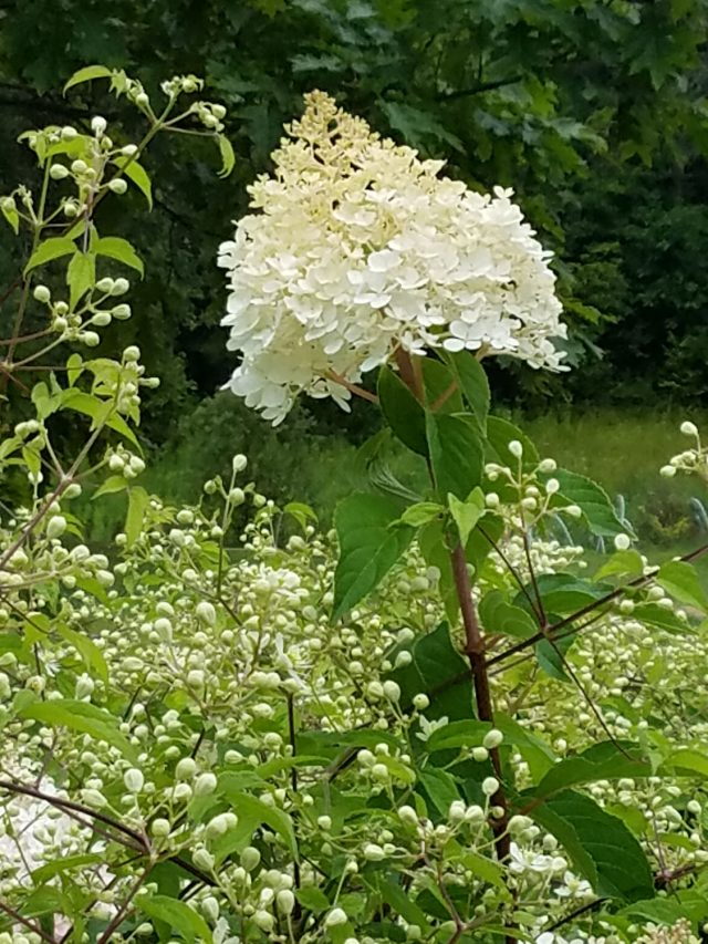 Vanilla Strawberry hydrangea paniculata