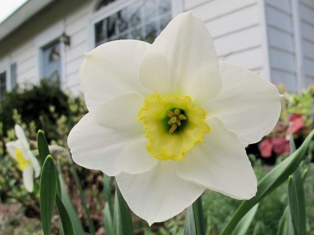 Vernal Prince, a special daffodil