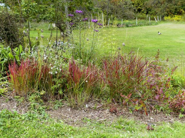 japanese blood grass, Cheyenne Sky switch grass, Penstemon calycosus, Vernonia glauca,  Veronicastrum