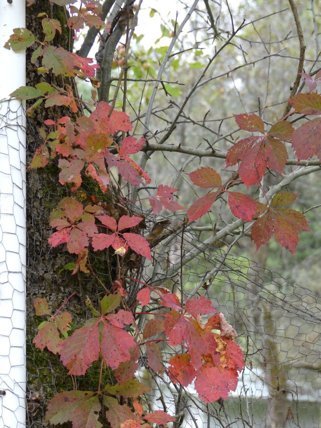 Virginia creeper closeup