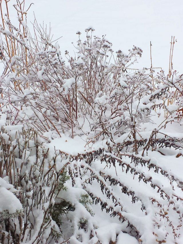weeds in snow