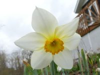 White Lady narcissus