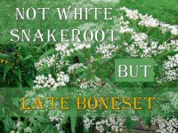 White Snakeroot featured image revised