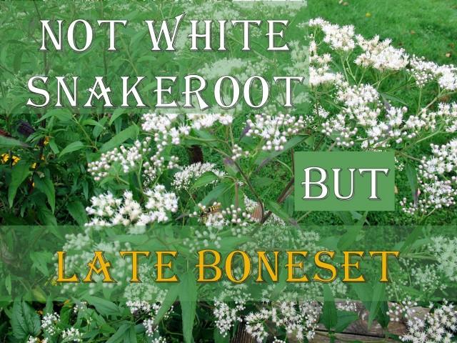 Not White Snakeroot But Late Boneset Wildflower Wednesday