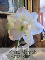 White nymph amaryllis feature image