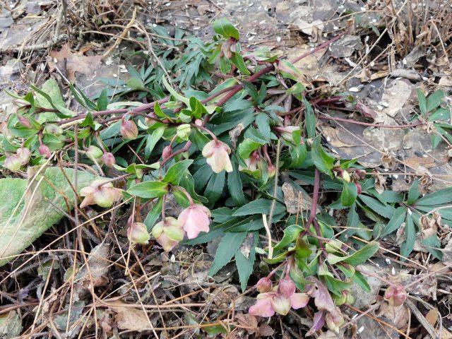 Helleborus x sahinii 'Winterbells'