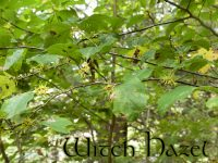witch-hazel-featured-image