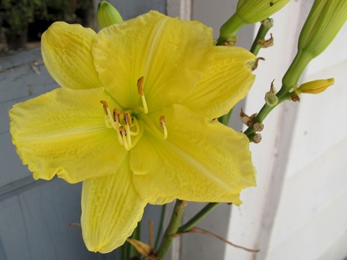 Yellow Explosion daylily