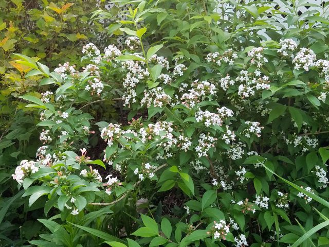 abelia monsanensis early June