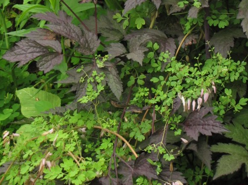 Allegheny vine and Black Negligee snakeroot
