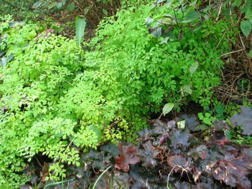 adlumia fungosa and heuchera