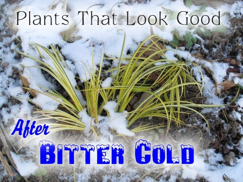 Plants That Look Good After Bitter Cold