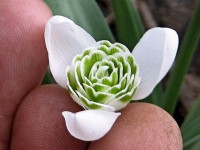 Galanthus 'Ailwyn'