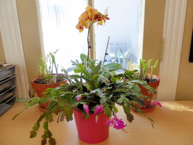 January blooming indoor plants