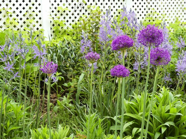 allium and camassia late May