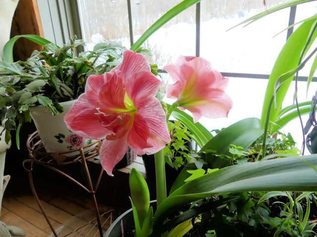 second flower stalk Sweet Nymph amaryllis