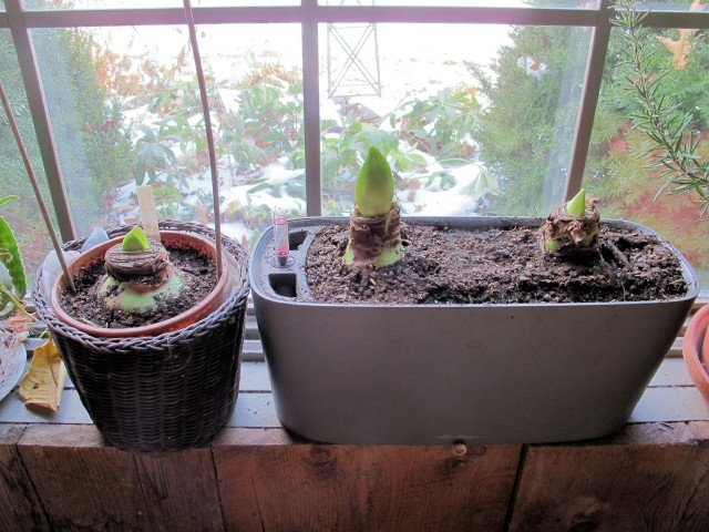 amaryllis bulbs two weeks after planting