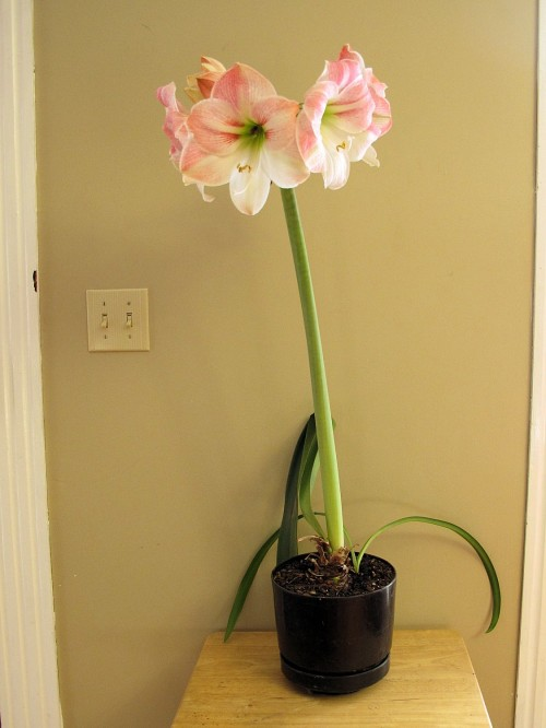 flowering amaryllis