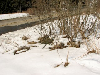 Snow around lilac shrub