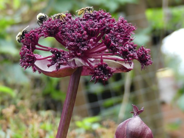Angelica gigas close-up of flower