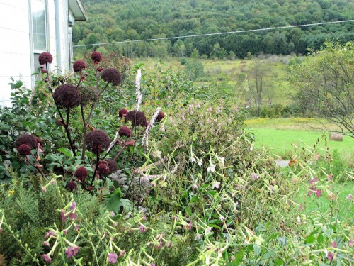 Angelica and other plants in the fall border