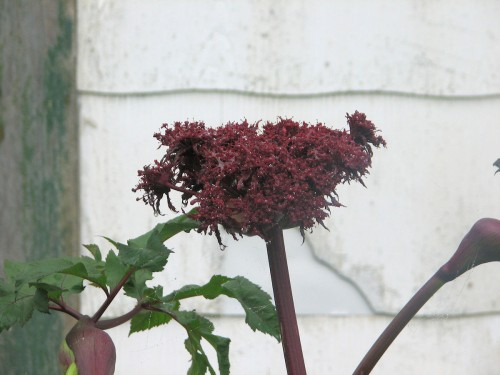 This is the first year I've managed to have Korean angelica blooming in my garden