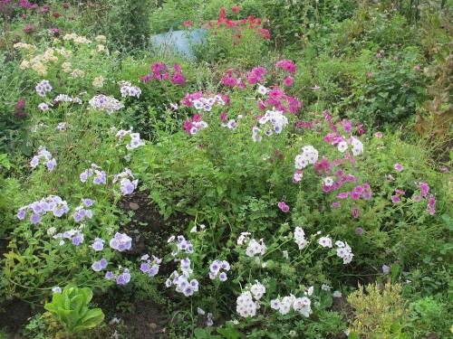 Annual phlox looks great in a cottage garden--or a vegetable garden!