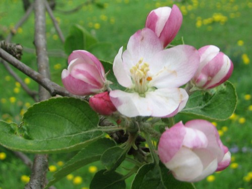 If this apple blossom gets frosted before it gets pollinated, it will never form an apple.