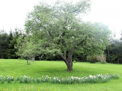 Poet's narcissus blooming at the foot of an apple tree