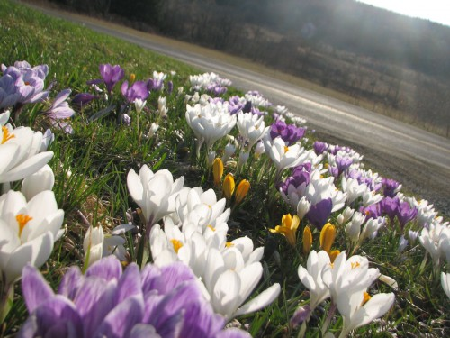 These crocuses bloom every year at our previous house. I want to duplicate this in the new garden. (c) Cadence Purdy